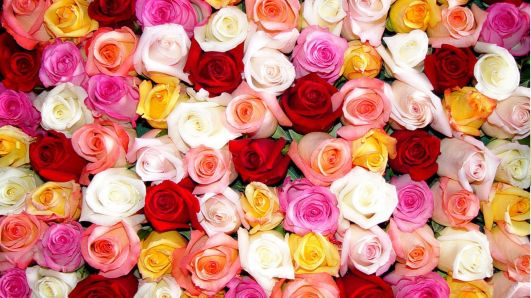 Colored-Roses